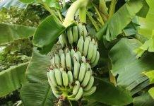 banana tree farming